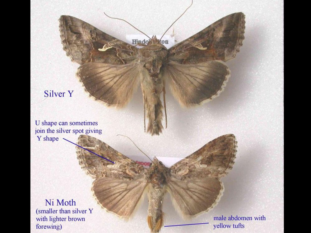 Ni Moth (Trichoplusia ni) - Norfolk Moths - The macro and