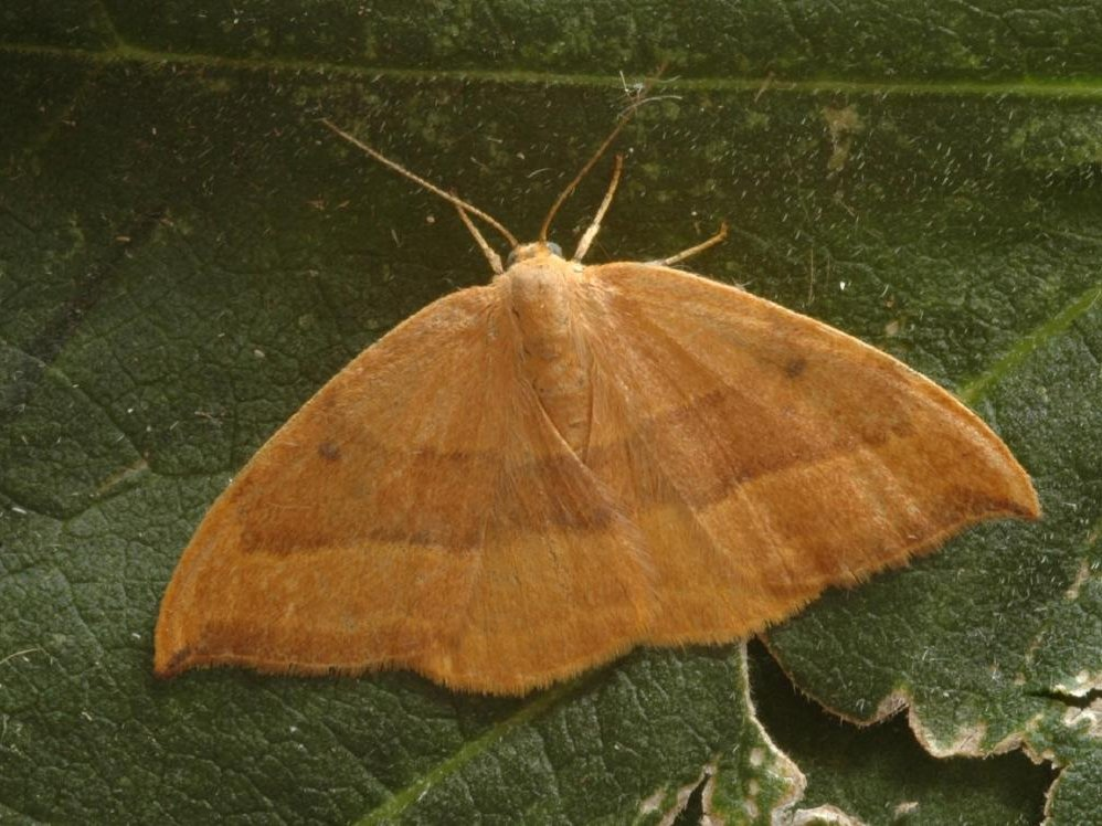 Barred Hook Tip Watsonalla Cultraria Norfolk Moths
