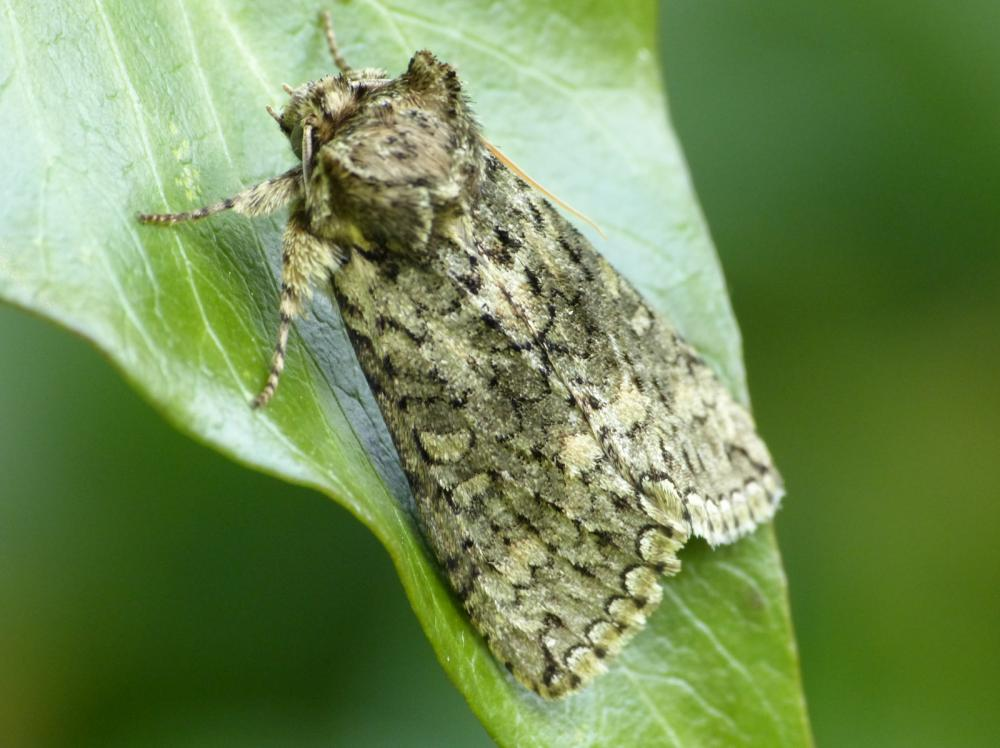 Frosted Green Polyploca Ridens Norfolk Moths The