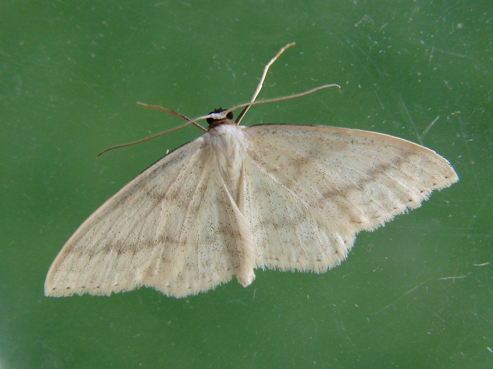 Cream Wave Scopula Floslactata Norfolk Moths The