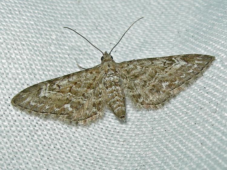 Narrow Winged Pug Eupithecia Nanata Norfolk Moths