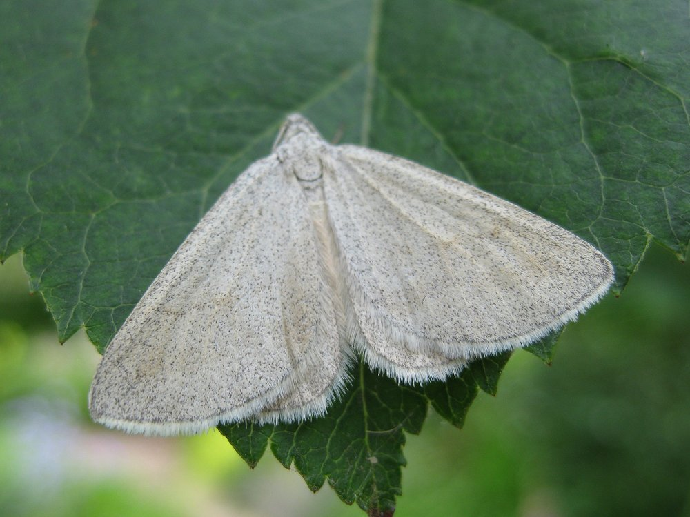 Grey Carpet Lithostege Griseata Norfolk Moths The