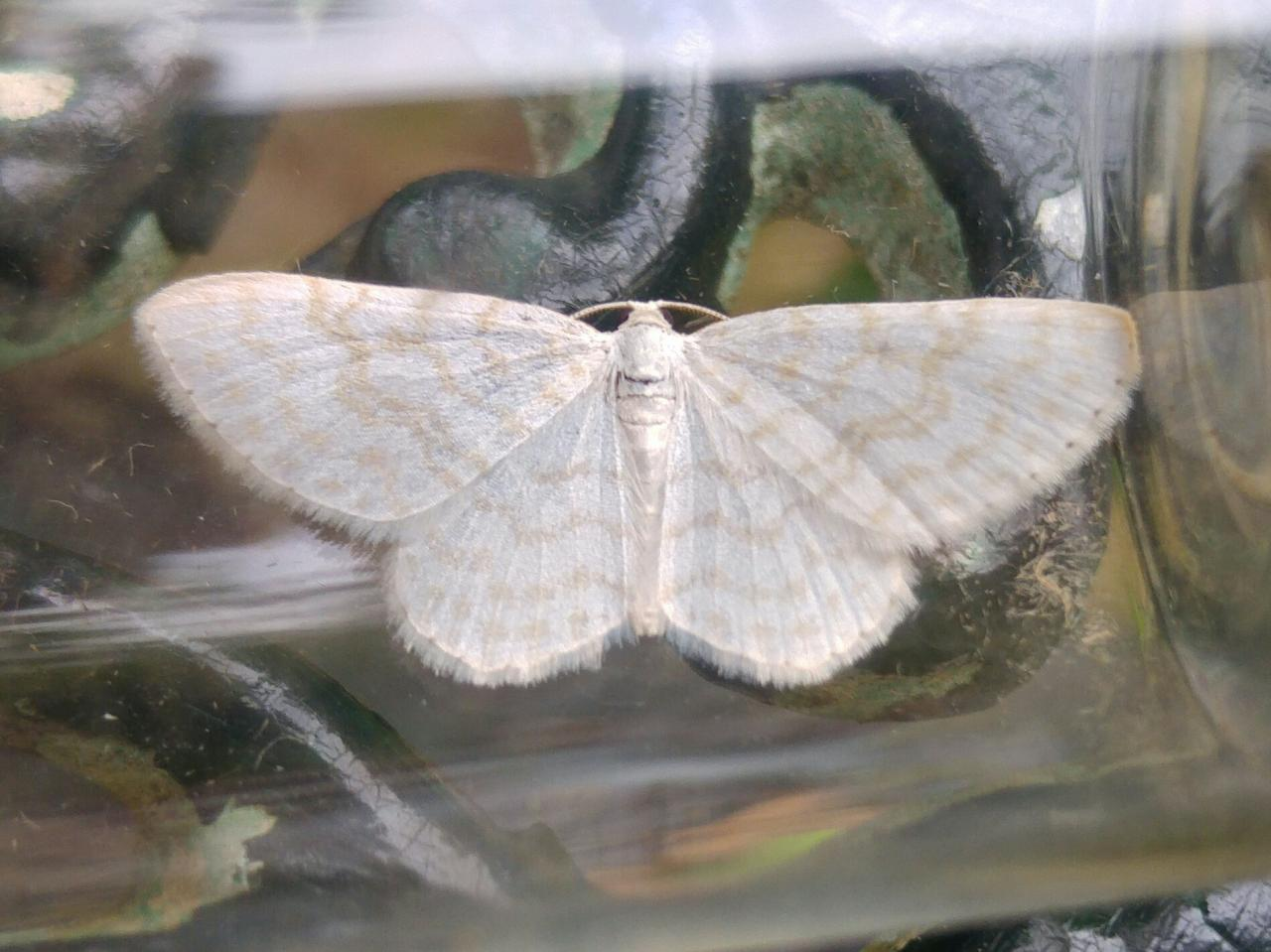 Small White Wave Asthena Albulata Norfolk Moths The
