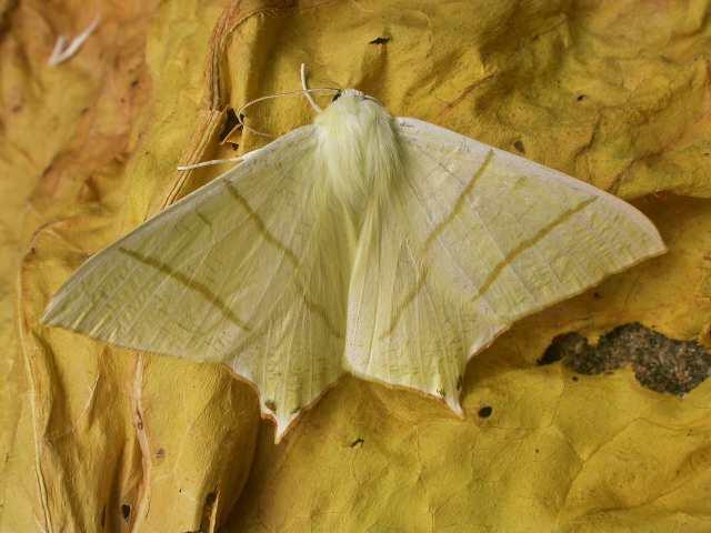 Swallow Tailed Moth Ourapteryx Sambucaria Norfolk