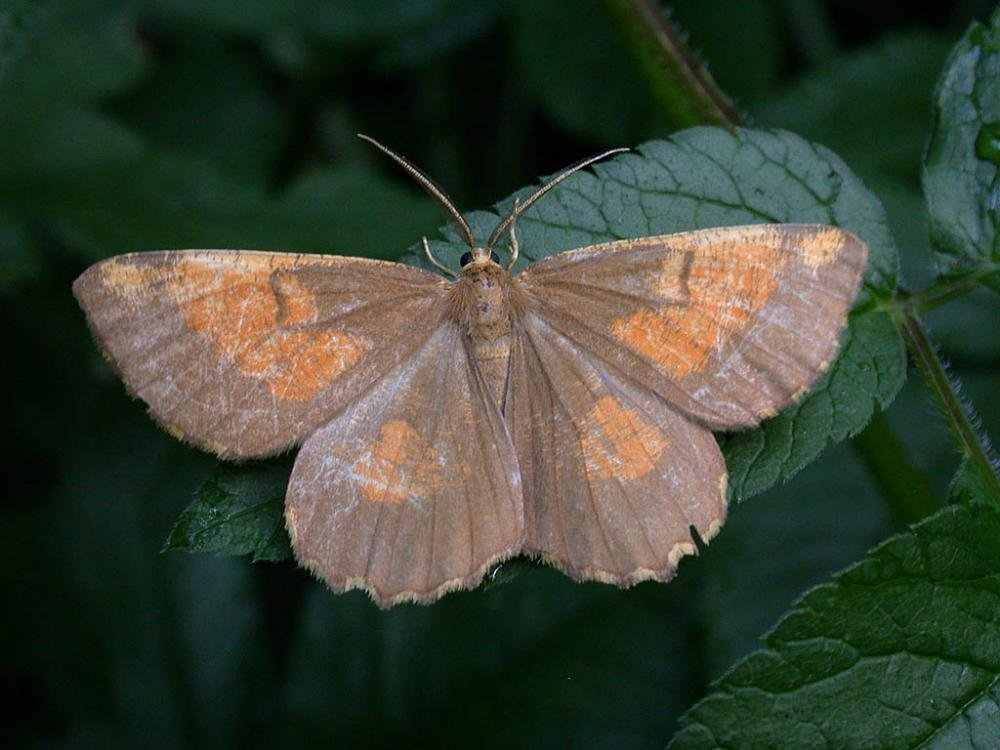 Orange Moth Angerona Prunaria Norfolk Moths The