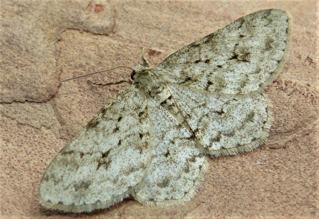 Engrailed Ectropis Crepuscularia Ectropis Bistortata