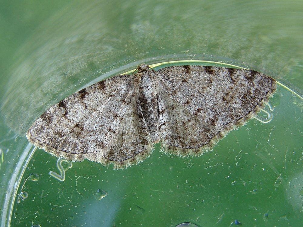 Grey Birch (Aethalura Punctulata)