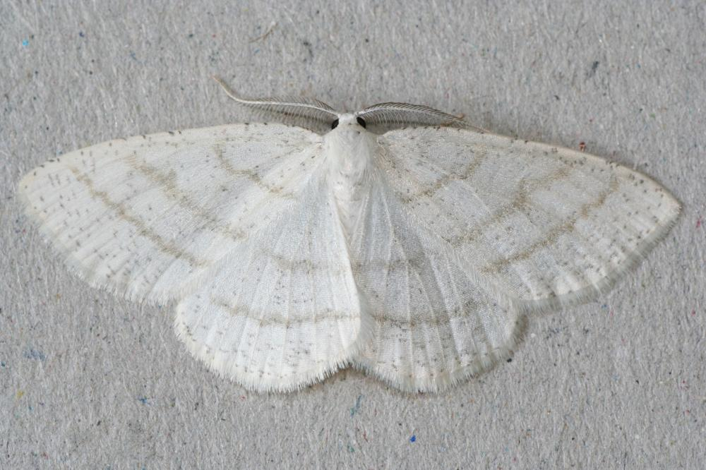 Common White Wave Cabera Pusaria Norfolk Moths The Macro And