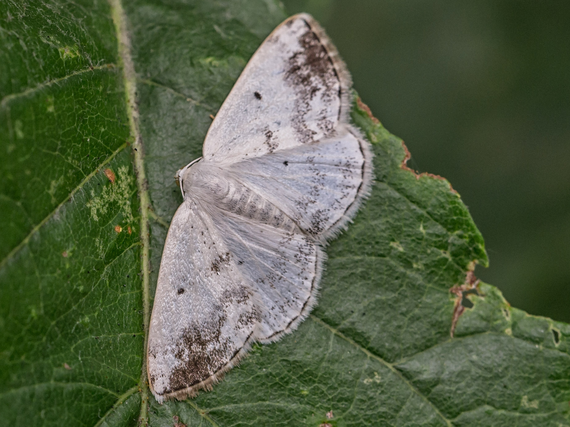 Clouded Silver Lomographa Temerata Norfolk Moths The