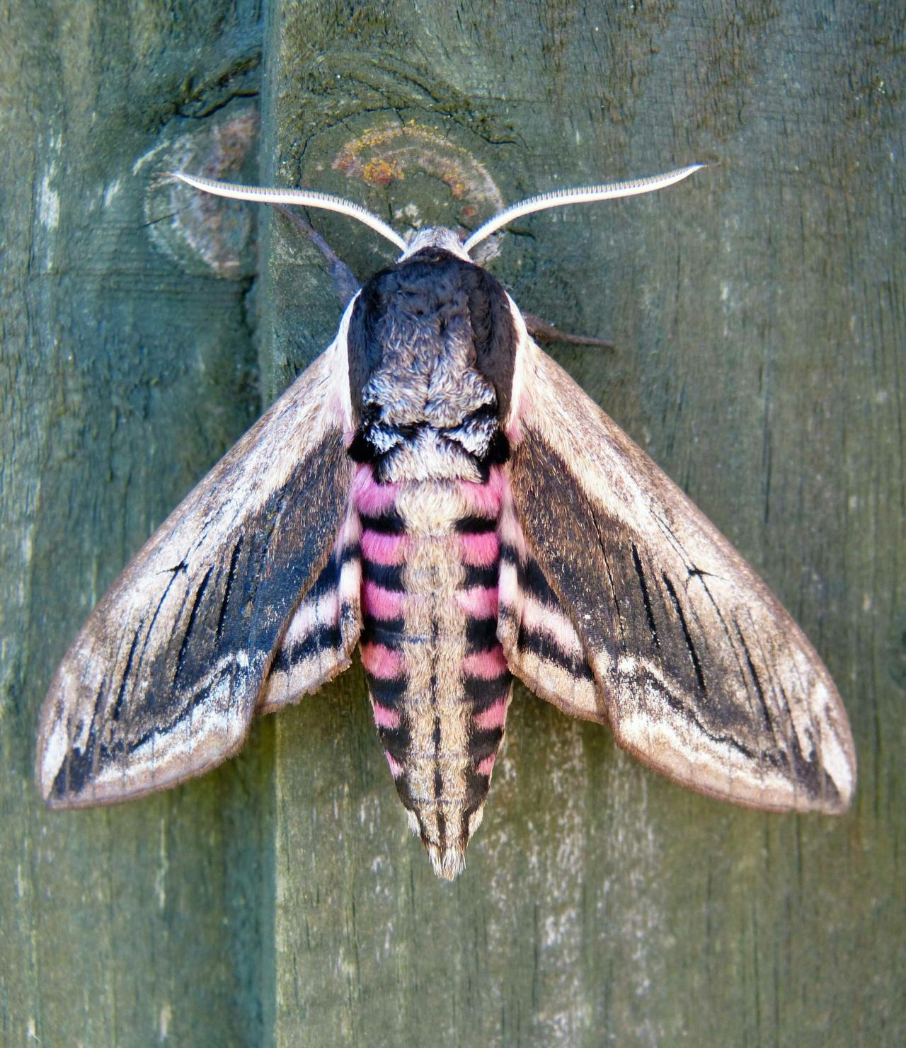 Privet hawk moth - photo#44
