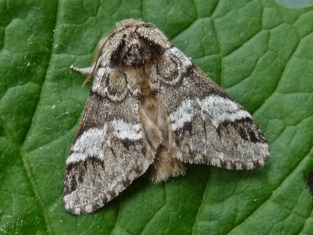 Marbled Brown Drymonia Dodonaea Norfolk Moths The
