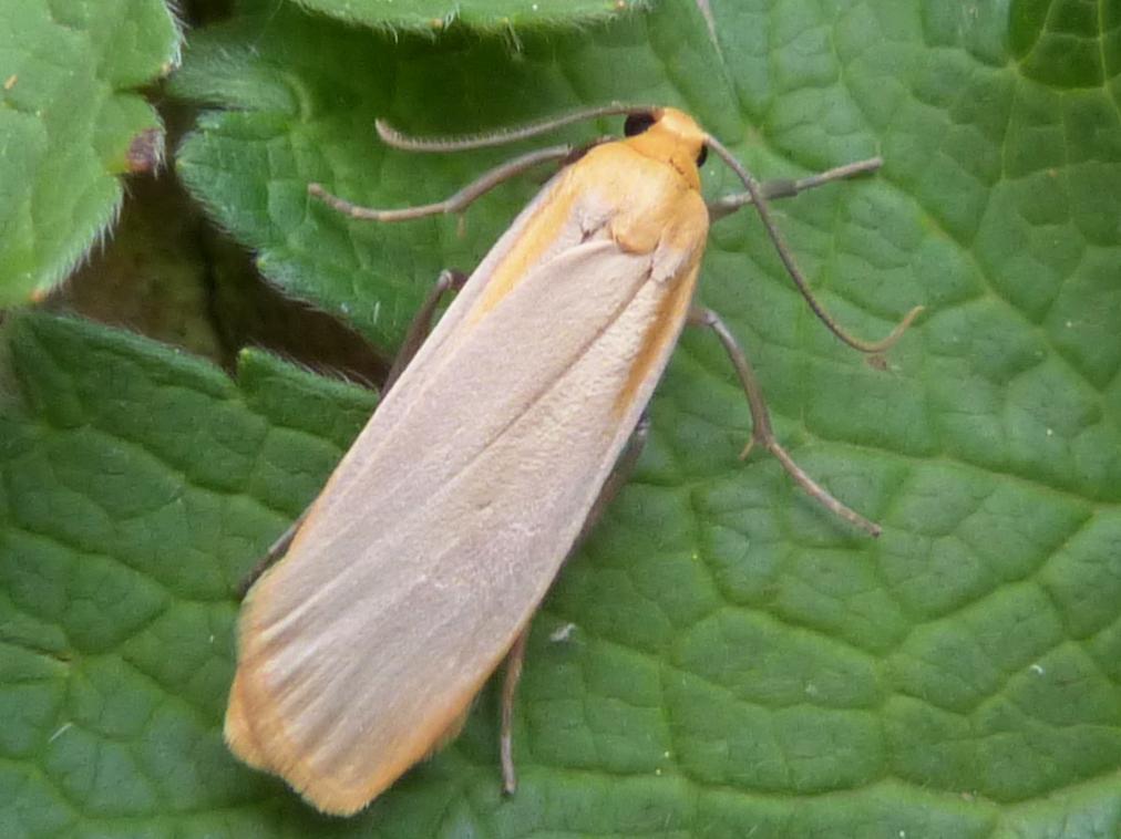 Buff Footman Eilema Depressa Norfolk Moths The Macro