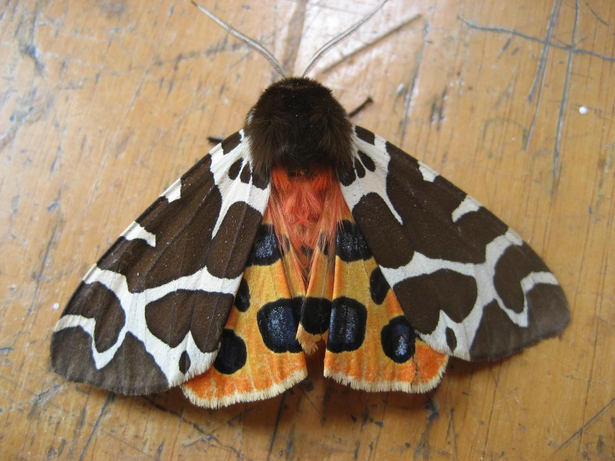 Garden Tiger (Arctia caja) - Norfolk Moths - The macro and micro ...