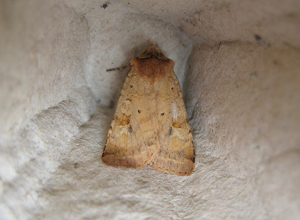 Ingrailed Clay Diarsia Mendica Norfolk Moths The