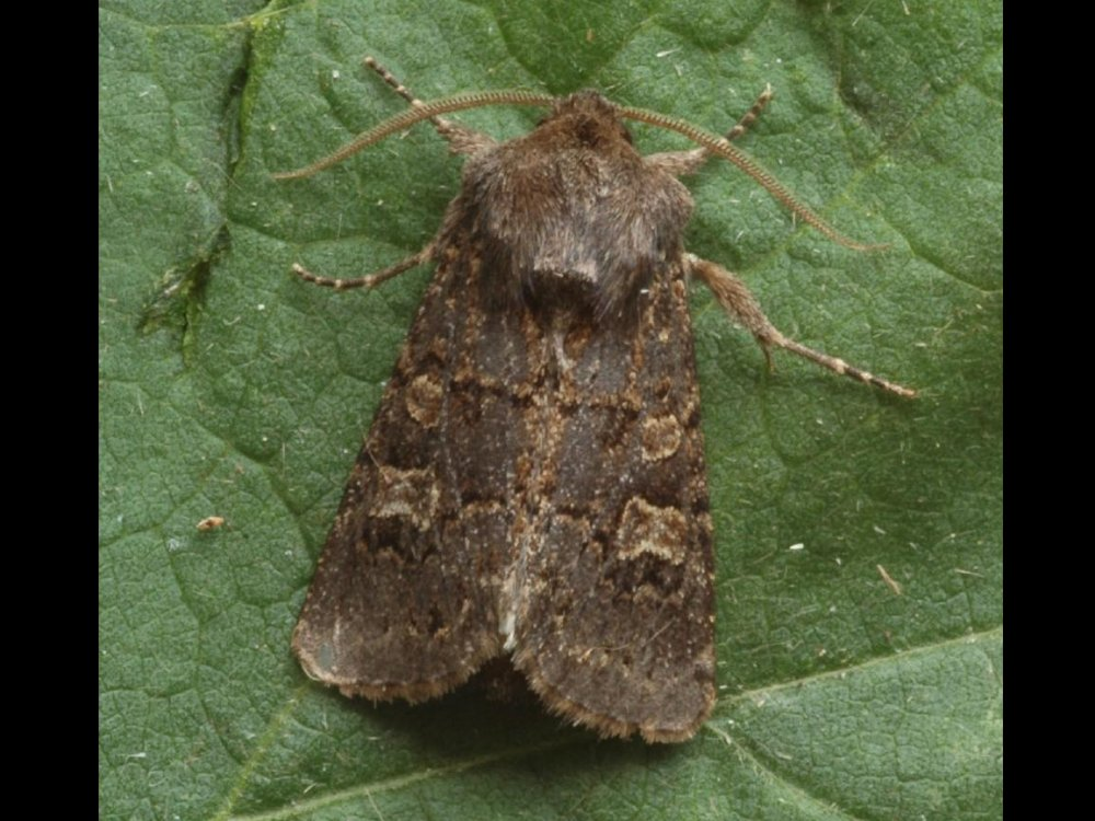Hedge Rustic Tholera Cespitis Norfolk Moths The