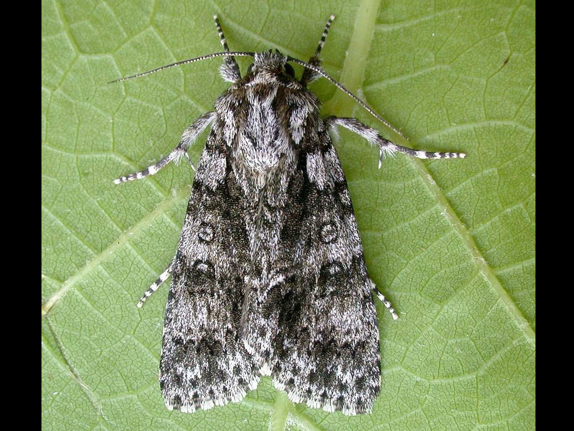 Knot Grass Acronicta Rumicis Norfolk Moths The Macro