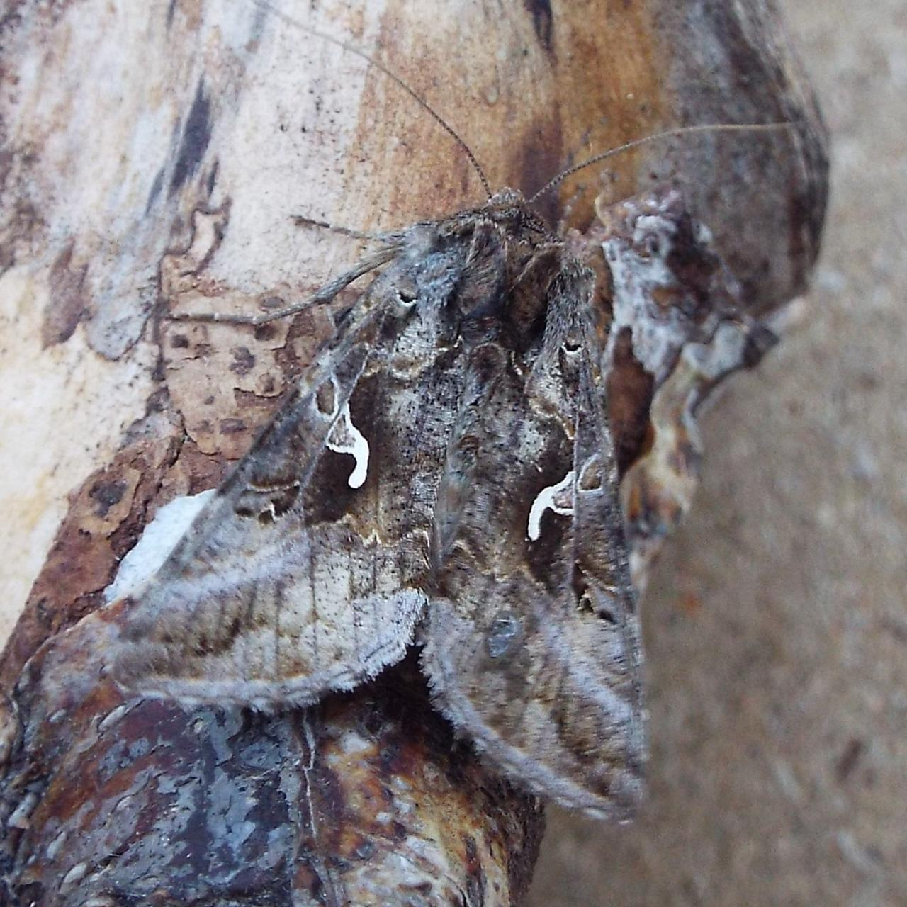 Silver Y (Autographa gamma) - Norfolk Moths - The macro and