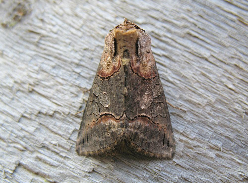 Dark Spectacle Abrostola Triplasia Norfolk Moths The