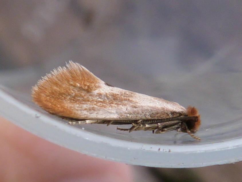 Tinea Semifulvella (Fulvous Clothes Moth)