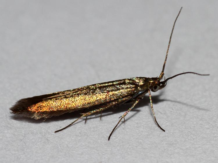 Coleophoridae - Norfolk Micro Moths - The micro moths of ...
